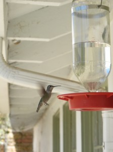 Hummingbird feeder at the TNC preserve