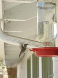 Hummingbird feeder at the TNC preserve