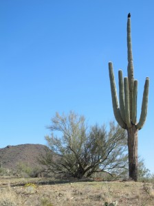Hawk on saguaro cactus