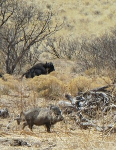 Javalina with bull