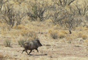 Javalina trotting away