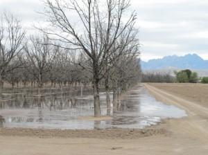 Irrigating a pecan grove