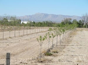 Young pecan orchard