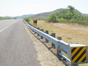Cow on road allowance