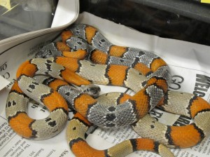 Gray-banded kingsnakes
